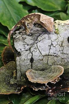 Crested Gecko by Lori Bristow