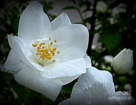 Crispy White Flower by Maria Scarfone