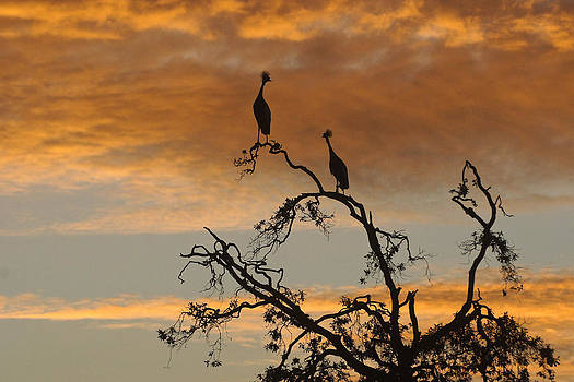 Michele Burgess - Crowned Cranes at Sunrise