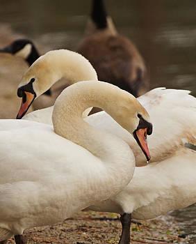 Carmen Del Valle - Cuddling Swans