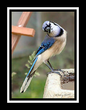 Curious Bluejay by Tracey R Gates