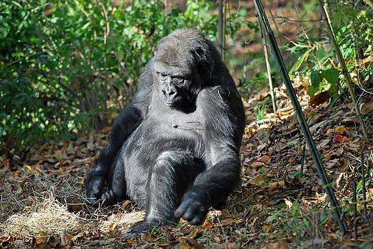 Michelle Cruz - Curious Gorilla
