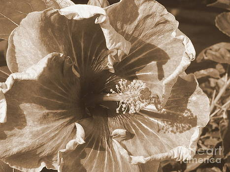 Mary Deal - Curly Hibiscus in Sepia
