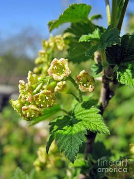 Ausra Huntington nee Paulauskaite - Currant In Bloom