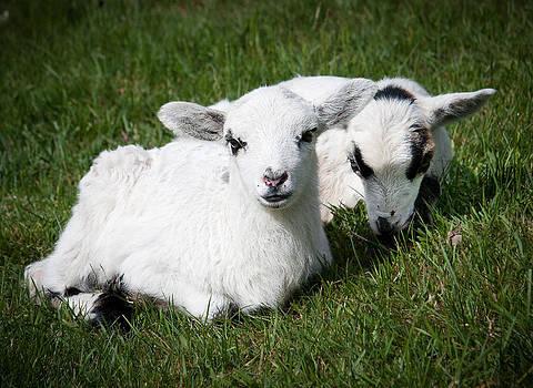 Cute lambs by Paul Davis
