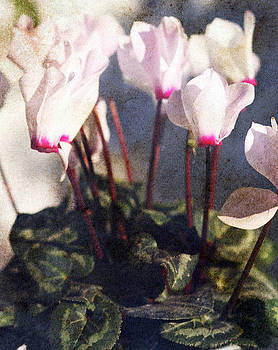 Cyclamen by Angela Bruno