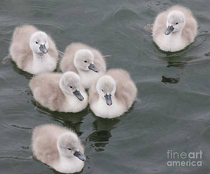 Cygnet by Scenesational Photos