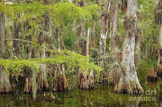 Cypress Forest in Summer by Matt Tilghman