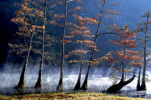 Cypress in the mist by Cindy Rubin