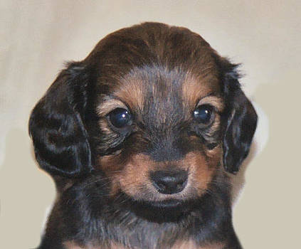 Dachshund Puppy by Victoria Sheldon