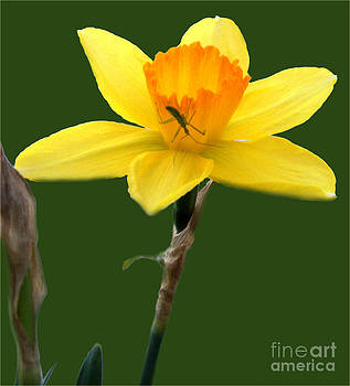 Daffodil Bugged by John From CNY