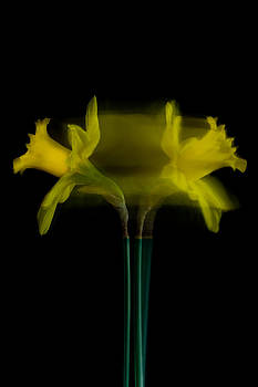 Roger Mullenhour - Daffodil Following The Light