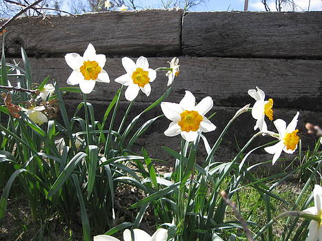 Daffodils by Diana Poe