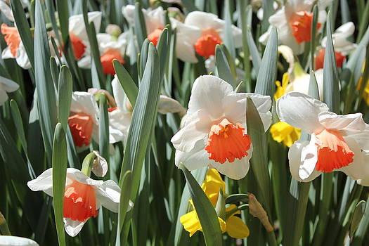 Daffodils by Felix Zapata