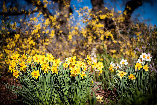 Chris Fullmer - Daffodils in Bloom