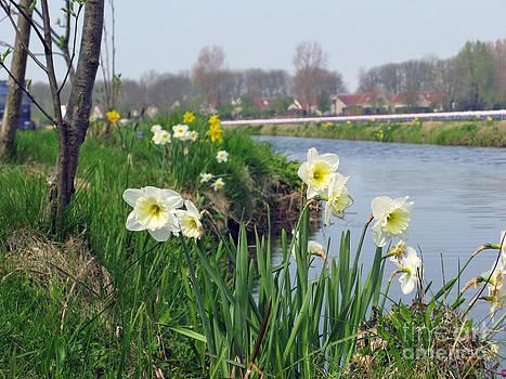 Daffodils in Holland 01 by Ausra Huntington nee Paulauskaite