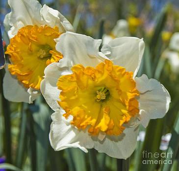 Tim Mulina - Daffodils