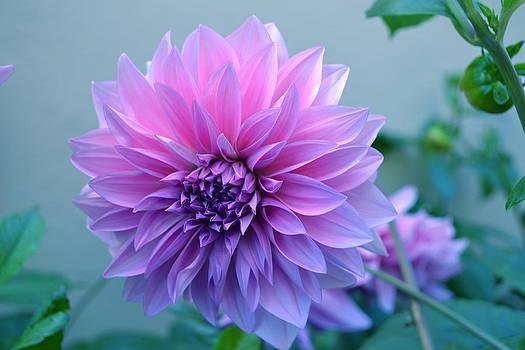 Dahlia Flower2 by Saifon Anaya