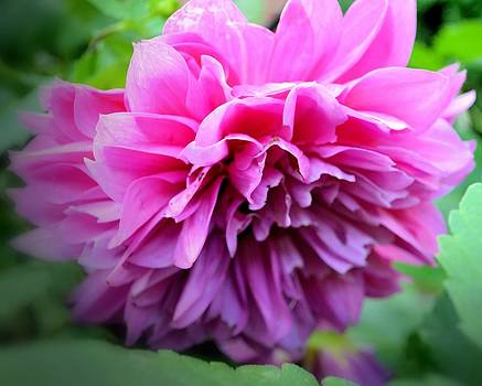 Dahlia in the Garden by Andrea Schwab