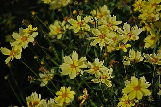 Michelle Cruz - Dainty Yellow Daisies