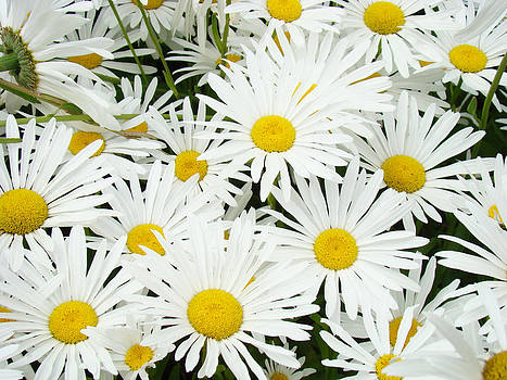 Baslee Troutman - Daisies art prints White Daisy Flowers Floral