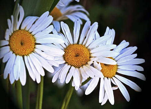 Daisies of Three by Cheryl Cencich