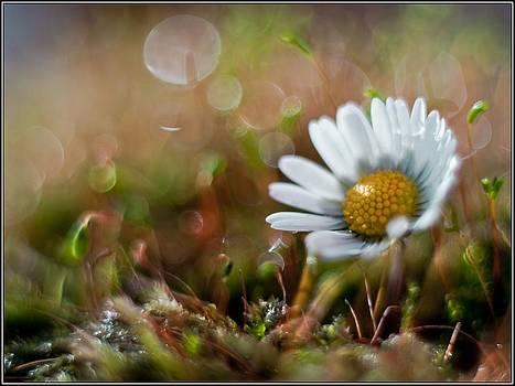 Daisy by Adrian Krol