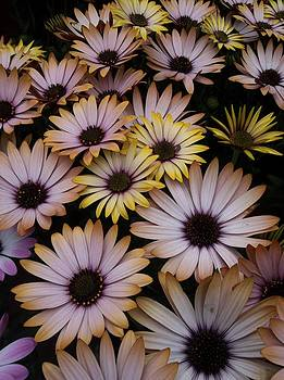 Daisy Beauty by Pamela Roberts-Aue