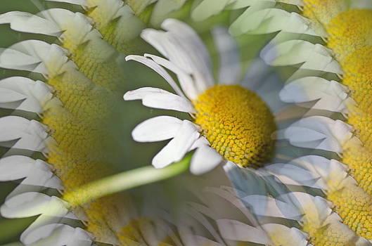 Daisy delight by Cheryl Cencich
