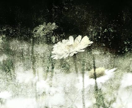 Daisy Love by Florin Birjoveanu