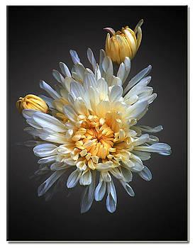 Daisy by Peter Pham