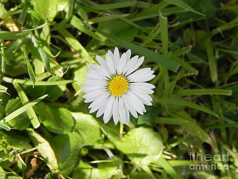 Daisy by Sandy Owens
