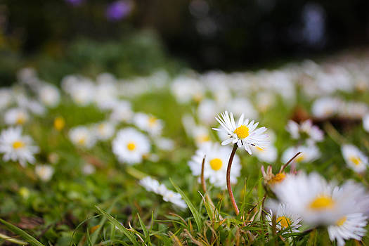 Daisy Stands out from the Crowd by Mathew Tonkin Henwood
