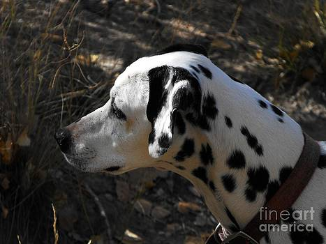 Dalmation Dog by Annie Gibbons