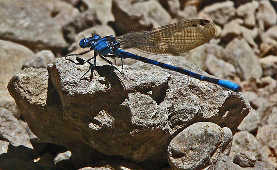 Damselfly by Daniele Smith