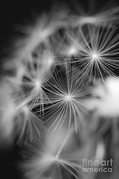 Dandelion 5 by Tad Kanazaki