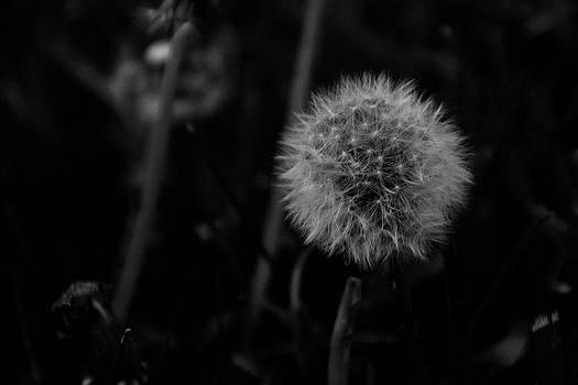 Dandelion by BandC  Photography