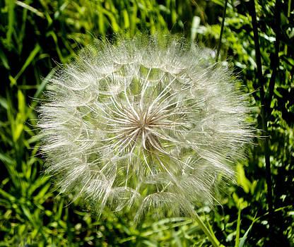 Dandelion by Carol Kristensen