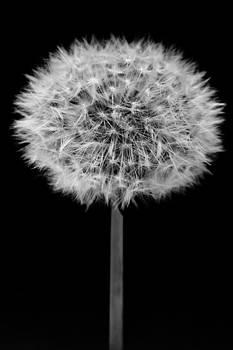 Dandelion by Daniel Kulinski