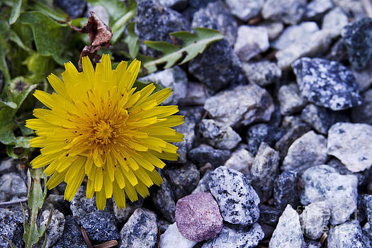 Dandelion growing between rocks. by Robert Wirth