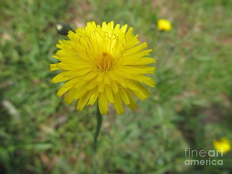 Dandelion by Malcolm B Smith