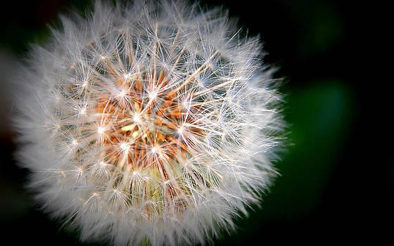 Dandelion by Martha Hughes