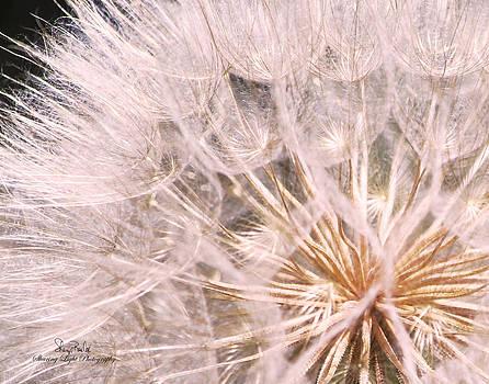 Dandelion Puff by Sheryl Cox