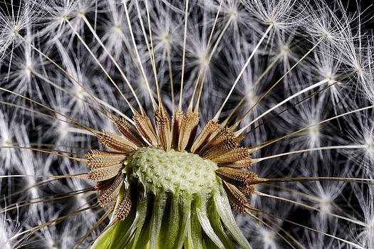 Dandelion Seed Study by Phil Degginger