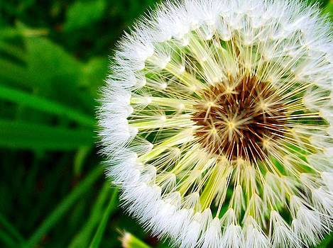 Dandelion by Sherry  Kepp