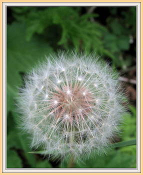Dandelion White-Clock.   by Joseph Doyle