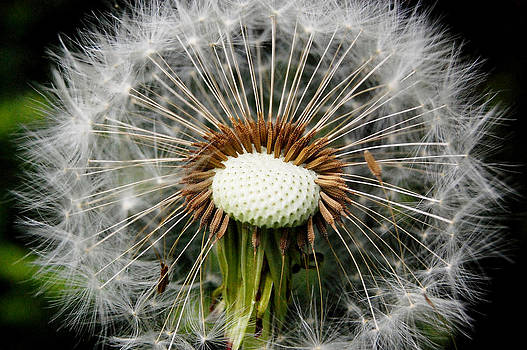 Dandelion's Insight by Kate Holloman