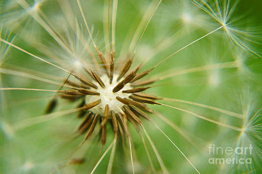 Dandy Explosion by Diane Stresing