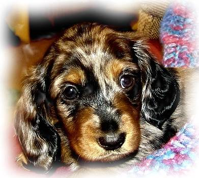 Dapple Dachshund Pup by Victoria Sheldon