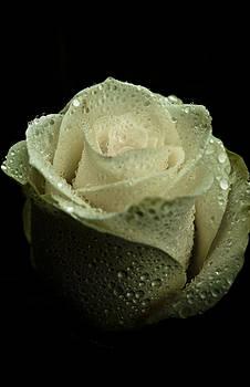 Dark Rose by Grebo Gray